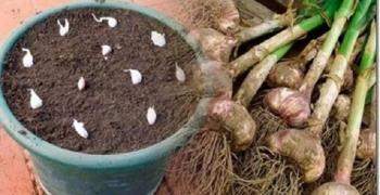 Não compre alho nunca mais – plante facilmente alho na sua casa com esta dica!